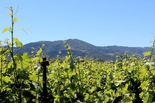 Vineyards 5-23-2016