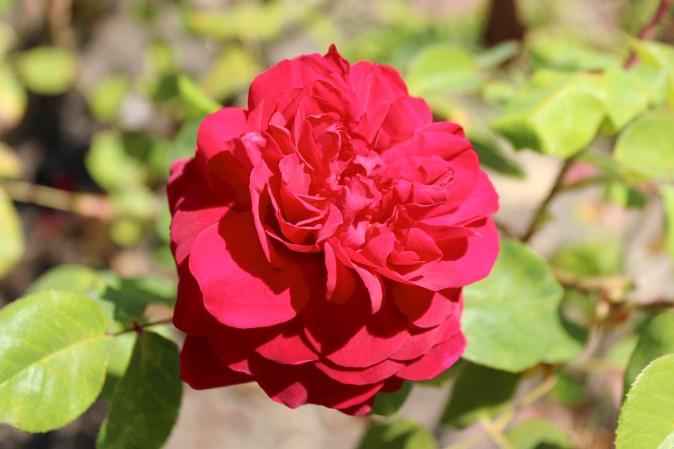 Rose 2 7-18-2016
